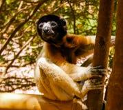 Portrait of the crowned sifaka aka Propithecus coronatus at Lemurs park, Antananarivo, Madagascar. Portrait of the Coquerel`s sifaka aka Propithecus coquereli at stock image