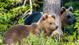 Portrait of Cub of Wild Brown bear. (Ursus Arctos Arctos) in the summer forest. Natural green Background Stock Images