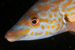 Portrait of a cuckoo wrasse (Labrus mixtus) Stock Photography