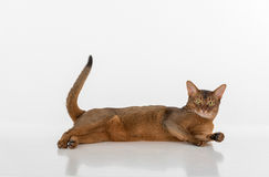 Portrait Curious Abyssinian cat lying on ground and looking straight. Tail is up. Isolated on white background Royalty Free Stock Image