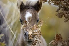 Cute foal hiding behind a branch stock photography