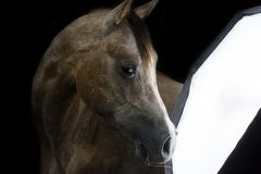 Curious Purebred Arabian horse stock images