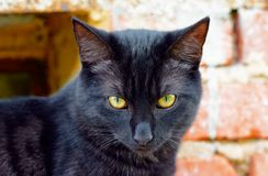 Portrait curious black cat Stock Images