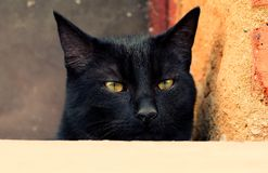 Portrait curious black cat. Portrait curious funny black cat royalty free stock photography