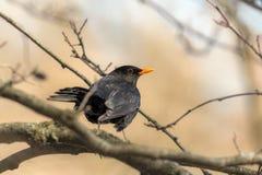 Portrait of a curious blackbird Stock Image