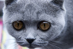 Portrait of Curious British grey cat Stock Images