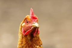 Portrait of curious brown hen Stock Photo