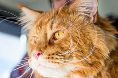Portrait of Curious Cat looking in Window, Close-up View Stock Photo