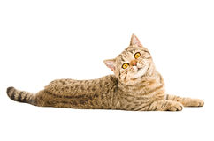 Portrait of a curious cat Scottish Straight royalty free stock photos
