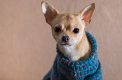 Portrait of curious Chihuahua wearing knitted sweater Royalty Free Stock Image