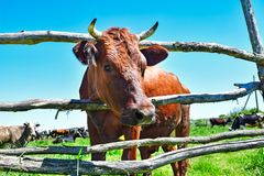 Portrait of a curious cow royalty free stock images