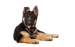 Portrait of a curious German shepherd puppy Stock Image
