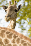 Portrait of a curious giraffe Royalty Free Stock Photo