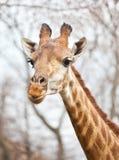 Portrait of a curious giraffe Stock Photos