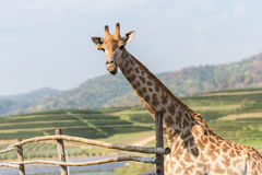 Portrait of a curious giraffe on blue sky background Royalty Free Stock Photography