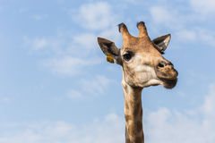 Portrait of a curious giraffe on blue sky background Royalty Free Stock Photos