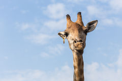 Portrait of a curious giraffe on blue sky background Royalty Free Stock Photo