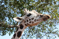 Portrait of a curious giraffe Stock Photos