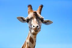 Portrait of a curious giraffe (Giraffa camelopardalis) over blue Royalty Free Stock Photos