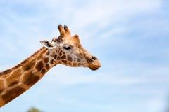 Portrait of a curious giraffe (Giraffa camelopardalis) over blue Stock Photos