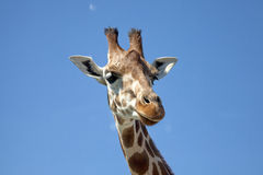 Portrait of a curious giraffe Royalty Free Stock Photos
