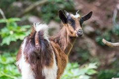 Portrait of a curious goat kid turning to look at the camera on a trekking path in Crete Greece. Portrait of a curious goat kid turning to look at the camera on Stock Photography