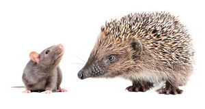 Portrait of curious gray rat and cute hedgehog Stock Image