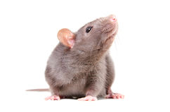 Portrait of curious gray rat stock photography