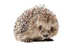 Portrait of a curious hedgehog Stock Image