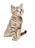 Portrait of a curious kitten Scottish Straight Royalty Free Stock Photo
