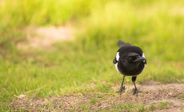 Portrait of a curious Magpie Royalty Free Stock Image