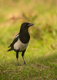 Portrait of a curious Magpie Royalty Free Stock Images