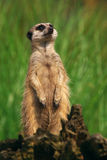 Portrait of a curious Meerkat Royalty Free Stock Image