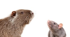 Portrait of curious nutria and rat. Isolated on white background royalty free stock photo