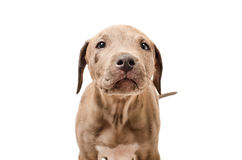 Portrait of a curious puppy pit bull Royalty Free Stock Image