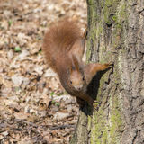 Portrait of curious red squirrel Royalty Free Stock Image