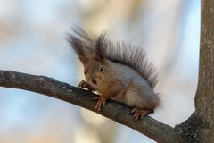 Squirrel on a tree branch Royalty Free Stock Photos