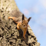 Portrait of a curious squirrel Stock Images