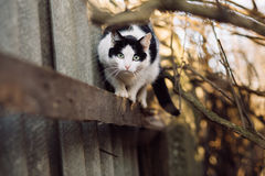 Portrait of curious wary cat looking at camera. Black and white curious wary cat standing on fence and looking at camera Royalty Free Stock Images