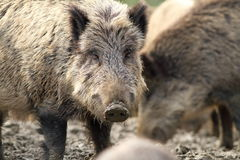 Portrait of curious wild hog Royalty Free Stock Photography
