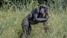 Portrait of curious wondered adult Chimpanzee in tall grass. Closeup, details royalty free stock photo