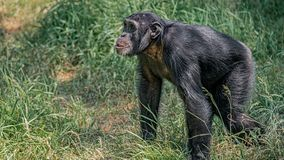 Portrait of curious wondered adult Chimpanzee in tall grass. Closeup, details stock photos