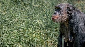 Portrait of curious wondered adult Chimpanzee in tall grass. Closeup, details royalty free stock photography