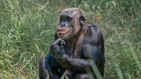 Portrait of curious wondered adult Chimpanzee in tall grass. Closeup, details stock images