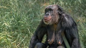Portrait of curious wondered adult Chimpanzee in tall grass. Closeup, details royalty free stock photos
