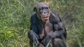 Portrait of curious wondered adult Chimpanzee in tall grass. Closeup, details stock image