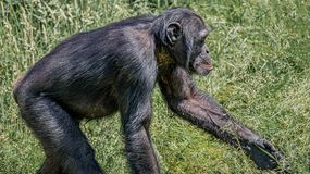 Portrait of curious wondered adult Chimpanzee in tall grass. Closeup, details stock photo