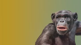 Portrait of curious wondered Chimpanzee at smooth gradient background. Extreme closeup, details, paste space royalty free stock photos
