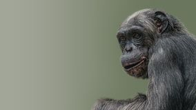 Portrait of curious wondered Chimpanzee at smooth gradient background. Extreme closeup, details, paste space royalty free stock photography