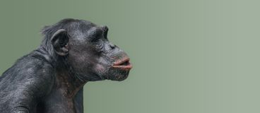 Portrait of curious wondered Chimpanzee at smooth uniform background, extreme closeup, details, paste space. Portrait of curious wondered Chimpanzee at smooth stock photo